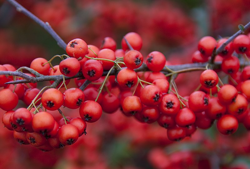 File:Red Berries (4153383094).jpg