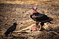 Red Headed Vulture on a Chital Carcass.jpg