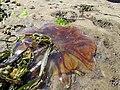 Red Jellyfish (11430723573).jpg