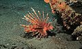 Red Lionfish (Pterois volitans) (6062526062).jpg