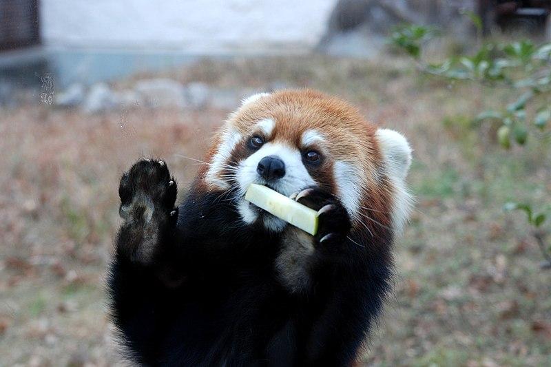 筒状のごはんに食らいつくレッサーパンダの赤ちゃん