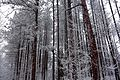 Red Pines in the Winter Time, Kings Forest Park.JPG