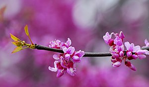 Close up of flowers of Redbud Tree(Cercis sili...