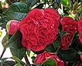 Red peony shrub Dongola Road Haringey London England 1.jpg