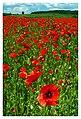 Red weed 1 (19522370826).jpg