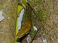 Redtail Rat Snake (Gonyosoma oxycephalum) (15597577056).jpg