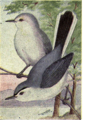 Reed-blue-gray-gnatcatcher.png