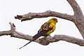 Regent Parrot (Polytelis anthopeplus) (8079607933).jpg