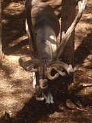 Reindeer fr jarvzoo.jpg