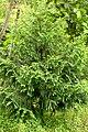 Retrophyllum rospigliosii, Colombia - Alejandro Bayer (2).jpg