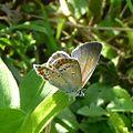 Reverdin's Blue. Plebejus argyrognomon - Flickr - gailhampshire.jpg