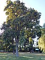 Rezervatia stejari brumarii - Neptun.jpg