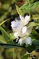 Rheed's Caper(Capparis baducca) (33591004541).jpg
