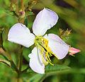 Rhexia mariana flower.jpg