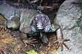 Rhino Iguana (15437204887).jpg