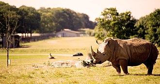 Woburn Safari Park - Southern White Rhino on the Road Safari at Woburn Safari Park