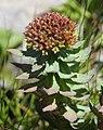 Rhodiola rosea (female s9).jpg
