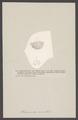Rhodocrinites verus - - Print - Iconographia Zoologica - Special Collections University of Amsterdam - UBAINV0274 007 02 0060.tif
