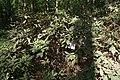 Rhododendron catawbiense in Botanical garden, Minsk.JPG