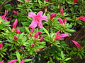 Rhododendron indicum 02.JPG