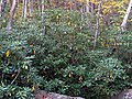 Rhododendron maximum (Fox Creek, Grayson County, Virginia, USA) 2 (30124510260).jpg