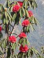 Rhododendron tree 03.jpg