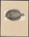 Rhomboidichthys mancus - 1788 - Print - Iconographia Zoologica - Special Collections University of Amsterdam - UBA01 IZ14000183.tif