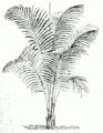 Rhopalostylis baueri.png