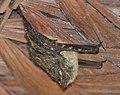 Rhynchonycteris naso (cropped).jpg