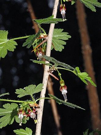 Ribes - Ribes divaricatum (Spreading gooseberry)