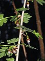 Ribes divaricatum 5391.JPG