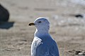 Ring-billed Gull (Larus delawarensis) (16231222886).jpg