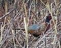 Ring-necked pheasant (24651937485).jpg
