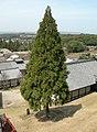 RobenSugi Cryptomeria japonica.jpg