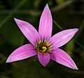 Romulea rosea 1DS-II 2-3710.jpg