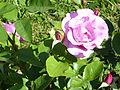 Rosa 'Dioressence' Delbard-Chabert 1984 RPO.jpg