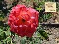 "Rosa ""Floricel"". 05.jpg"