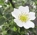 Rosa arvensis 1.jpg