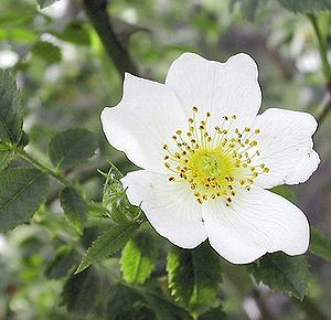Polski: rosa arvensis
