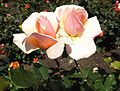 Rosa mother of pearl.jpg