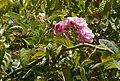 Rosa multiflora Thunb. (33070694532).jpg