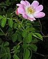 Rosa rubiginosa inflorescence (21).jpg