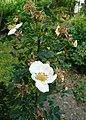 Rosa spinosissima inflorescence (78).jpg