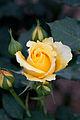 Rose, Gold Bunny - Flickr - nekonomania (1).jpg