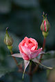Rose, Kallinka - Flickr - nekonomania.jpg