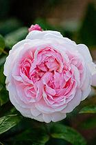Rose, Masako (Eglantyne)4.jpg