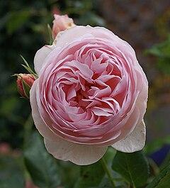 Image Result For Rosa Juliet Color