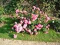 Rose PAY 135.jpg
