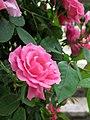 Rose Zephirine Drouhin バラ ゼフィリーヌ ドルーアン (5758608246).jpg