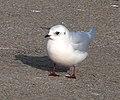 Ross's Gull (Rhodostethia rosea).jpg